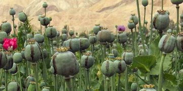 Afghan farmers forced to grow poppies for living | Afghan