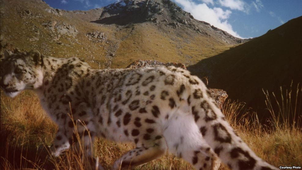 There are now only a few thousand snow leopards living in the wild. (file photo)