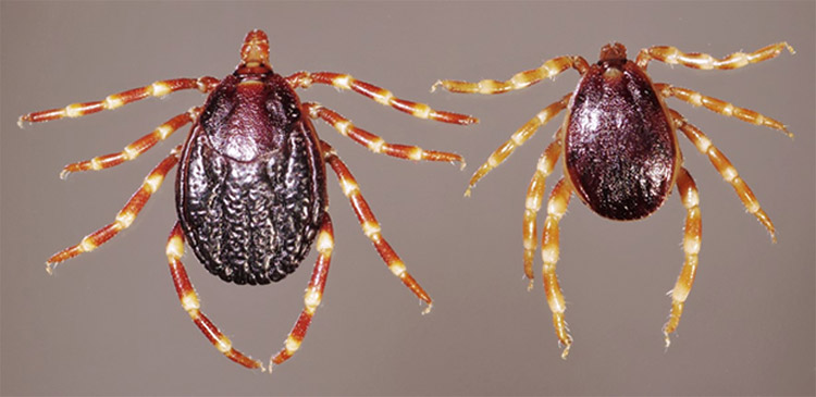 Hyalomma ticks are the main vector for CCHF (Photo: Daktaridudu/Wikimedia Commons)